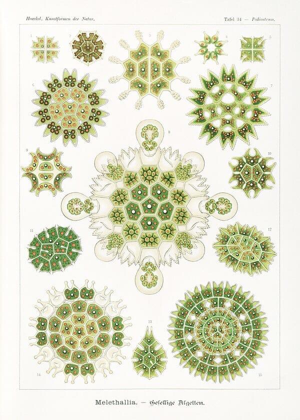 Ernst Haeckel Natural Forms