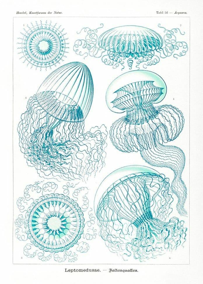 Ernst Haeckel Jelly Fish