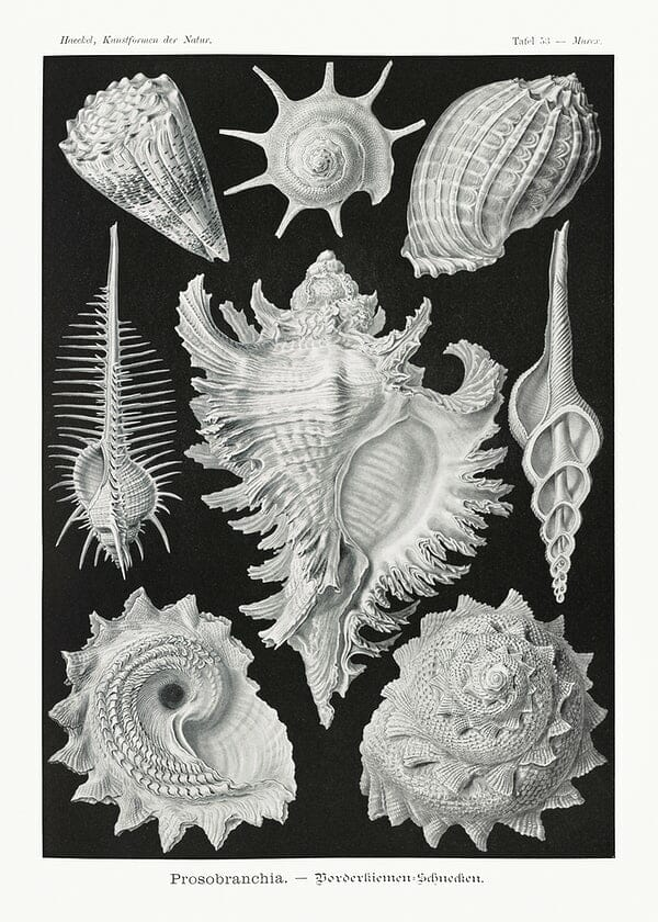 Ernst Haeckel Shells