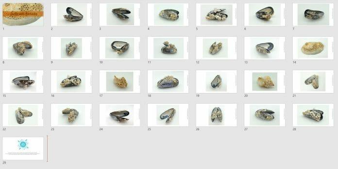 Barnacle Shells Example slides
